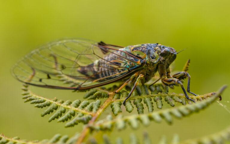 حشرة الزيز، التهديد الجديد الذي سيغزو العالم