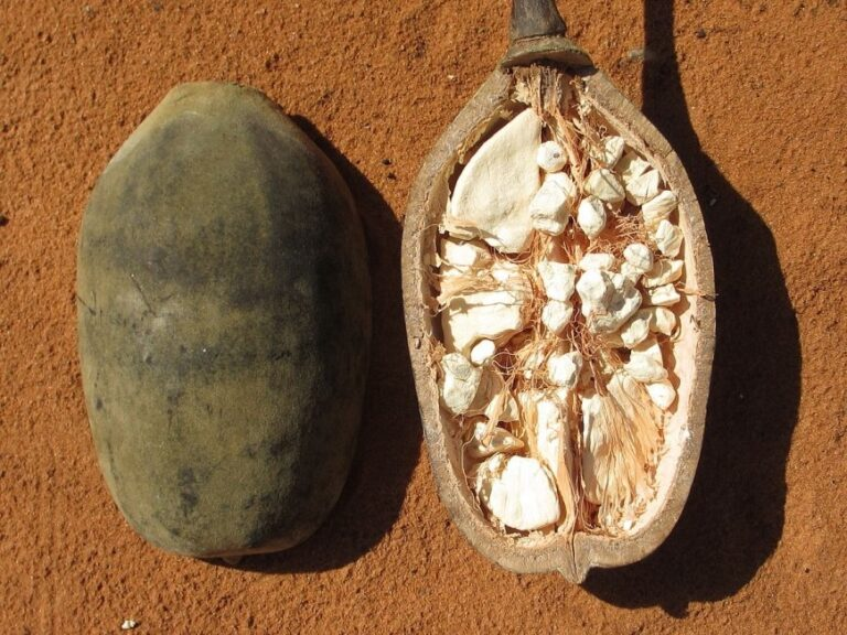 فوائد فاكهة الباوباب الأفريقية الفريدة