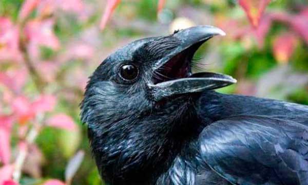 معلومات عن الغراب : أكثر الطيور ذكاء على كوكب الأرض