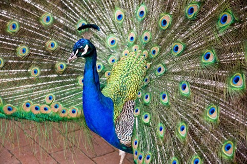 معلومات عن الطاووس : الطائر الملكي المثير للجدل