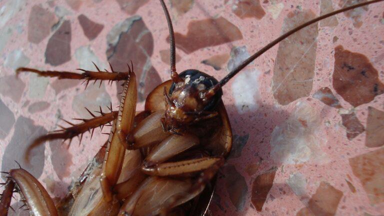 كيفية القضاء على الصراصير : طرق مجربة وفعالة