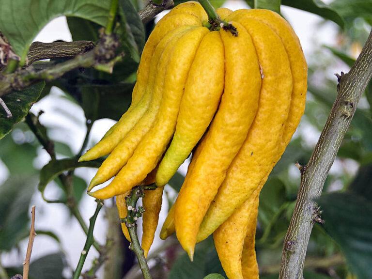 فاكهة يد بوذا : فاكهة غير معروفة لكن فوائدها كثيرة